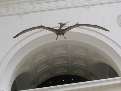 This one is a shot I took of the pterosaur reconstruction at Chicago's Field Museum. There are many known varieties of the order Pterosauria, which lived during the Cretaceous and Jurassic periods.