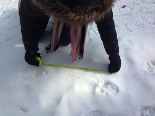 Godfrey measuring possible cougar prints in Kettle Moraine Feb. 2015