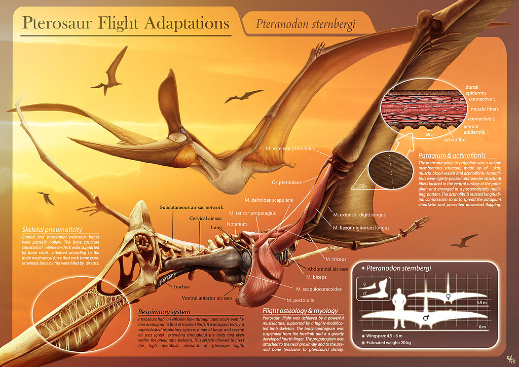 Pterosaur_Flight_Adaptations_-_Pteranodon_sternbergi_-_Hugo_Salais_López